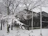 雪桜全体2