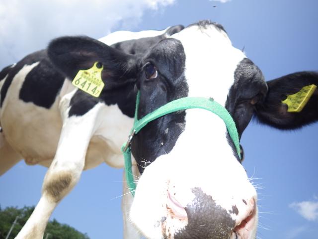 恒例の 牛の乳搾り体験 バター作り体験 動物の写生会 羊の毛刈り体験  夏休み子供体験イベント情